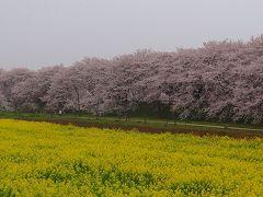 幸手市 権現堂公園の花見 上編