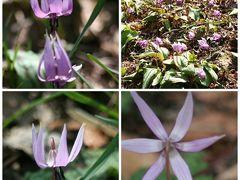 「町田かたかごの森」でカタクリの花を見る