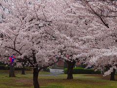 鴻巣市 あかぎ公園の花見