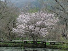 強羅公園の桜と箱根湿生花園のお花たち