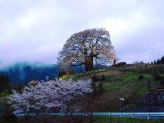 4度目の逢瀬は夕闇に浮かぶ醍醐桜