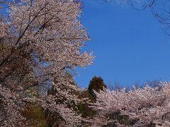 つくば市 洞峰公園の花見