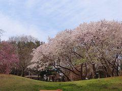 つくば市 赤塚公園は桜が多かった。