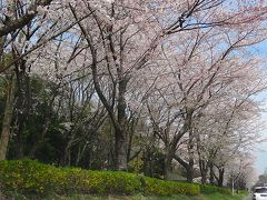 つくば市 追越・平砂学生宿舎東側の桜並木