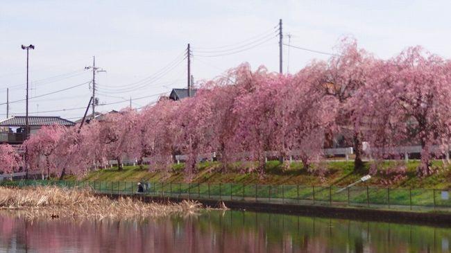 乙戸沼公園で釣りのオジサンに教えて貰った所が・・・牛久市の二池公園でした。<br /><br />近くへ行ったら、見事な枝垂れ桜の並木があり、これだったら教え甲斐がある立派な桜並木でした。<br /><br />オジサン有り難うございました。<br /><br />住所は牛久市上柏田1丁目です。