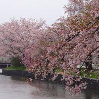土浦市 早朝の雨の新川堤で花見