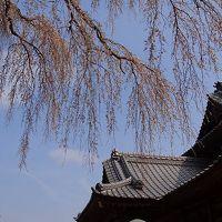 那珂市 阿弥陀堂の枝垂れ桜