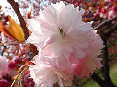 結城市 日本花の会結城農場 品種別桜花図鑑 上巻