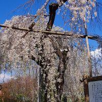 長瀞町 法善寺の枝垂れ桜は2本とも満開でした。