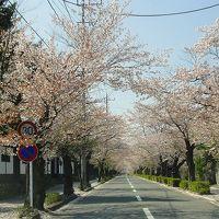 長瀞町 長瀞の桜並木<北桜通りをドライブ>