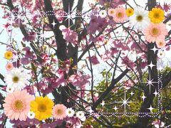 桜を求めて in 佐賀