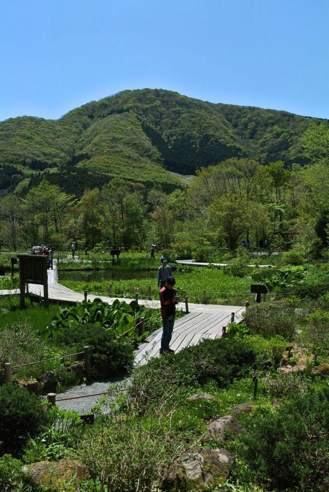 2012年のゴールデンウィークは両親が関西から上京。<br />自宅に2泊して貰った後、箱根姥子温泉に1泊2日の小旅行に出掛けた。<br /><br />3部構成<br />本旅行記は第2部 『箱根湿生花園』編<br /><br />□第1部【1日目】<br /> ・箱根関所<br /> ・グレインでの夕食<br /> ・姥子温泉・ろくろべえ旅館<br /><br />■第2部【2日目前半】<br /> ・箱根湿生花園<br /> ・箱根富士屋ホテル<br /><br />□第3部【2日目後半】<br /> ・小田原駅前(小田原北条五代祭り)<br /><br />第1部 『箱根関所』編は以下のアドレス<br />http://4travel.jp/traveler/taxnax/album/10667349/<br /><br />第3部 『小田原北条五代祭り』編は以下のアドレス<br />http://4travel.jp/traveler/taxnax/album/10667462