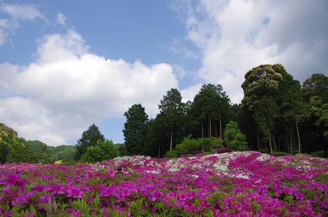 関西屈指のツツジの名所でもある三室戸寺<br />20,000株のツツジがほぼ満開となり、山を染めています。<br />晩生の石楠花も咲き艶やかな三室戸寺を楽しんで参りました。<br />5000坪の庭園を埋め尽くす躑躅のお花畑は見事<br />ご一緒に散策している気分でお楽しみ頂ければ幸いですm(__)m<br /><br />よろしければデジブックもご覧くださいませm(__)m<br />http://www.digibook.net/d/8855ebfb911a844d731643e6f2577282/?viewerMode=fullWindow