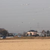 印旛沼周辺でバードウォッチング [2011](2)