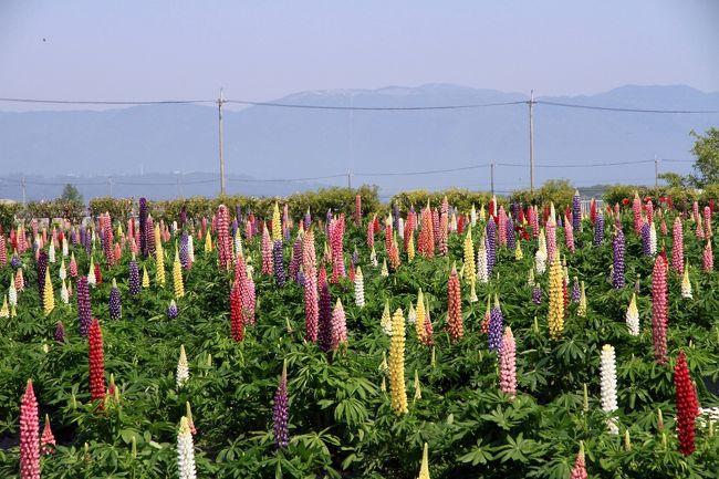 道の駅しんあさひ風車村 ルピナス観賞<br />ルピナス園が開園せれているとのことで見に行ってきました。<br />すこし早かったかもしれないですが、これだけのルピナスが咲いているのを初めてなので十分楽しめました。<br /><br />ルピナス<br />和名が「昇藤(のぼりふじ)」といいます。藤によく似た花が逆さまにたって咲くところからなずけられたとか。<br />エジプト時代から栽培されている花で、ピンク、白、赤、紫などたくさんのカラフルな小花をいっぱい付け華やかです。<br />