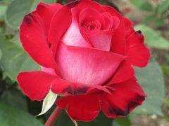 2012春、鶴舞公園のバラ(1)チアガール、バイオリーナ、レオニダス、レ−シーレディ、花見川
