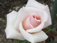 2012春、鶴舞公園のバラ(2)シャコック、メリナ、レオニダス、ロイヤルハイネス、マルコポーロ