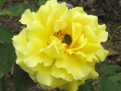2012春、鶴舞公園のバラ(3)サマーレディ、朝雲、アカペラ、ティファニー、ホワイトクリスマス