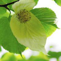 日光植物園に『ハンカチの木の花』を見に行く