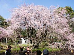 上野公園の早咲き桜と六義園の枝垂れ桜