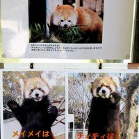 初夏のレッサーパンダ紀行【9】 夢見ヶ崎動物公園&千葉市動物公園 アンちゃん、おめでとう!! 千葉はもう少し先のようです