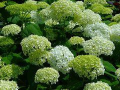 花菜ガーデン⑤ アジサイの花