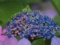 横浜八景島シーパラダイスあじさい祭り 紫陽花はもう少しで見ごろを迎えます 2012年6月17日