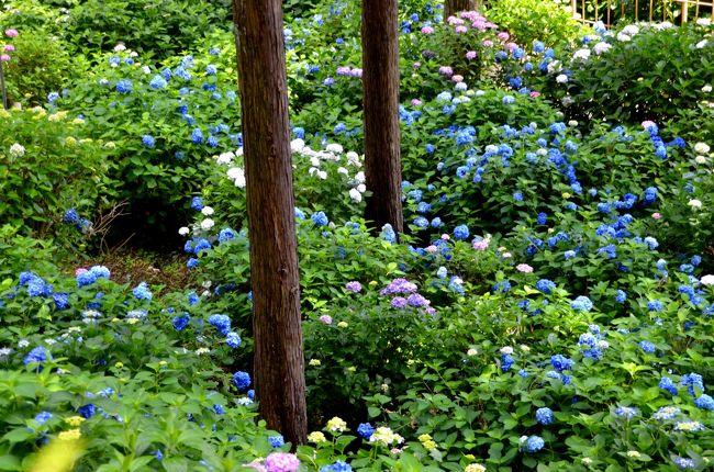 梅雨=アジサイという単純な思いつきで近場のアジサイ・スポットを検索した所、京都の宇治にある三室戸寺が目に留まりました。奈良時代に山奥の渓流から出現された千手観音菩薩を本尊に祀る、由緒ある古刹です。そして、ダメモトで京阪電車のお得情報を調べると宇治・伏見1DAYチケットがヒットしました。運賃は変わりませんが、拝観料やショップでの割引が得られ重宝しました。<br />三室戸寺のアジサイは関西屈指の名所だそうです。「牛に引かれて…」ではなく、「花に惹かれて」の境地です。春から夏にかけてツツジ、シャクナゲ、アジサイやハスと矢継ぎ早に移ろいで行きます。そして秋の紅葉もまた格別だそうです。リーフレットには1万株のアジサイと記載があり、寺の方でも「花の寺」としてかなりの力の入れようです。アジサイは想像以上の見事な咲きぶりで、心が洗われました。宇治は源氏物語の終焉となる「宇治十帖」の舞台です。千年の時を幻想的なアジサイが演じる紫絵巻と重ね合わせてみるのも一興です。<以上、前編><br /><br />三室戸寺を後にして源氏物語ゆかりの地をそぞろ歩きしました。宇治橋を渡った対岸から橘島と塔の島という二つの島で構成された宇治公園を巡り、朝霧橋を渡って宇治神社、宇治上神社(世界遺産)へと歩を進めました。<br />帰りがけには、中書島で途中下車し、坂本龍馬襲撃事件の舞台となった寺田屋や竜馬通り界隈を散策しました。竜馬通りは昭和の匂いを今に残す商店街が立ち並び、当時にタイムスリップしたような一種のトランス状態を満喫できました。