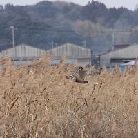 甘田干拓でバードウォッチング [2012](1)