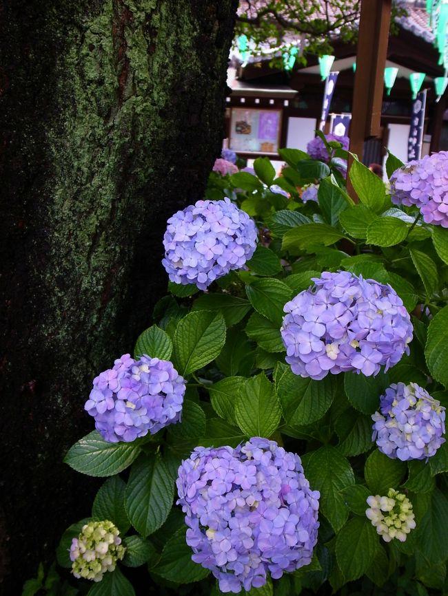 2012年6月17日(日)<br /><br />友人と久々に写真撮影しながらお散歩したいね〜と言いながら、今が見ごろの白山神社のあじさいまつりへ行ってきました♪<br /><br />都内にも素敵なところはたくさんあるんですね〜<br /><br />ちょうど見ごろの時期で、前日までの雨が嘘のように晴れて、梅雨の晴れ間のいいお散歩になりました★<br /><br />カメラはGR-DIGITAL?です。<br /><br />一緒に行ったチェリンさんの旅行記はこちら↓↓<br />http://4travel.jp/traveler/cattier/album/10681974/