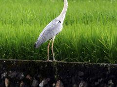 Solitary Journey [1068] バード(鷺)ウォッチング?に挑戦!慣れないカメラワーク^^;)<御調川'いきいきロード'>広島県尾道市