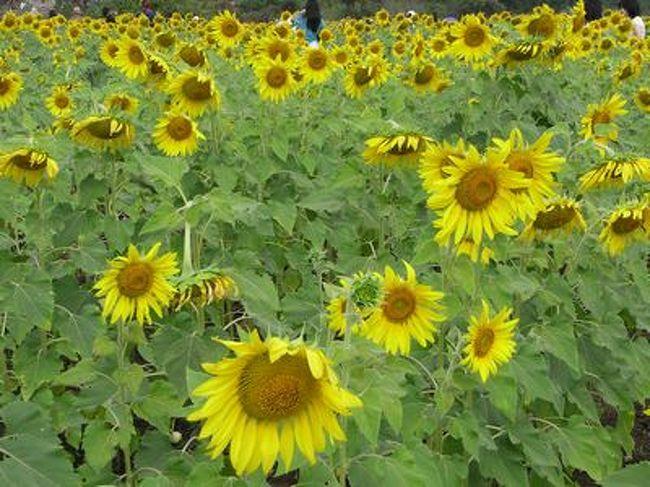 タイの国鉄に乗って遠足に出かけました。<br />【ひまわり列車の旅】<br />ひまわりと言えば夏の花。<br />でもここタイでは11月〜12月がひまわりの季節らしい。<br /><br />タイでひまわりと言えば【ロッブリー】で、ひまわり栽培ではタイ最大とのこと。<br /><br />そしてそして〜ひまわりを見に行くなら【ひまわり列車】!<br />タイ国鉄がひまわりの時期に特別に運行するのがこの列車。<br />ひまわり畑の真ん中で臨時停車してひまわり畑を見学できる。<br />そう聞いてひまわり列車の旅に出ました。<br />初めての鉄道の旅だったので今回はバンコクではお馴染み【レヌカーさんのツアー】に参加してみました。<br /><br />