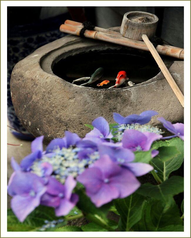 ■津和野、古い通りを彩る店先の紫陽花<br /><br /> 津和野は「つわぶきの生い茂る野」をその名のルーツにもつといわれる。遠い昔、山紫水明 のこの地に住みついた人々は、群生する「つわぶき」の可憐な花に目をとどめ、その清楚で高雅な風情に魅せられ、自分たちの住む里を「つわぶきの野」・・・ 「つわの」と呼ぶようになったという。<br /> その山陰の小京都「津和野」には、美しい殿町通りのほかに古い商店が建ち並ぶこの元町通りがあります。<br /> 古いたたずまいを残している通りの店先に紫陽花の花がポツンと置かれています。<br /><br />【手記】<br /> 愛飲しているユンケ○黄帝液、元気いっぱいオロ○ミンC!ファイト一発!リポビ○ンD!最近は黄帝やCを飲んでもDを飲んでも元気もファイトもイマイチでーす。<br /> 行動力がなくなったナ。原因を考えてみると…う〜〜ん、やっぱり歳なんですねー^^;。<br /> ・・・とかなんとか言いながら、またまた気がついたら岩国ICを下りて津和野まで行っていました。