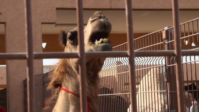 """UAE(アラブ首長国連邦)ドバイの中心から南へ180km、車で3時間。<br /><br />アルアイン(AL Ain)の街から少し外れた所にラクダを売買するキャメルマーケットがある。数百頭のラクダが取引を前にケージの中で飼育されている。<br /><br />取引の成立した、嫌がるラクダを何名かの大人が前後ろから抑えてトラックに乗せようとしている。<br /><br />&lt; https://www.youtube.com/watch?v=OQ1ktimEw6Q &gt;<br /><br />その時は偶然、生まれて間のない、体毛の黒いラクダの子もみかけた。<br /><br />&lt; https://www.youtube.com/watch?v=hwju4u_bRks &gt;<br /><br />ちなみに地名""""AL Ain""""のALは英語のtheの意味で、アラブの地名にはよくつかわれています。酒類のアルコールと同じ語源とのことです。<br />アルカリも同じアラビア語が語源。<br /><br />ツアーはこのあと駱駝のミルクで作ったチョコレートショップに向かう。<br />"""