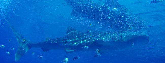 セブ島2012〜ジンベイと泳げる海〜