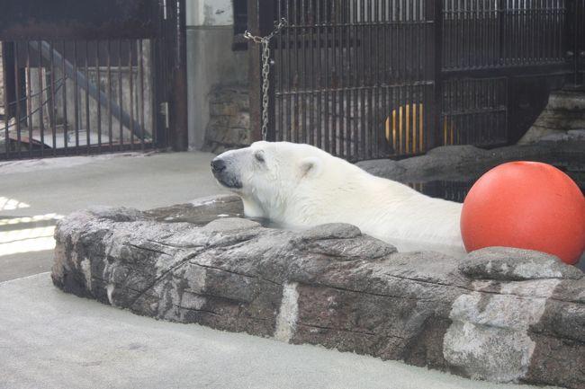 旅行2日目。<br /><br />今日のメインは、とべ動物園のしろくまピース。<br />7、8年ほど前になるでしょうか。NHKのドキュメンタリー番組で、はじめてピースを知りました。日本初の人工哺育で育てられたピース。高市さんという飼育員の家で寝泊まりしていた頃の、とてもかわいいこと!<br />動物園が連日人だかりだったというのも、うなづけるかわいさです。<br /><br />私も例外ではなく、DVD付きの本を買うなどしましたが、何せ愛媛まで行く機会がない。このたびようやく念願を果たすことができました。<br /><br />しかし・・・。<br />活況も今や昔。ピースは他の動物と同じくらいか、それ以下の地位に追いやられていました。ピースはストレスによる「てんかん」という病気だそうで、今はリハビリ治療中。フラッシュ撮影が禁止されていました。かつて大人気のアイドルも、今は同情を誘うような哀愁を漂わせていました。早く元気になって、また私たちを楽しませてくださいね。(^^)/