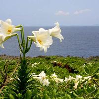 ゴールデンウィークの沖縄(その3、百合の花が咲き誇る伊江島へ)