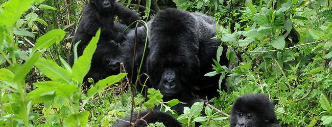 ルワンダのゴリラトレッキング