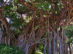 屋久島-4 中間ガジュマル、天然記念物の大樹 ☆中間川畔/集落入口に300年余