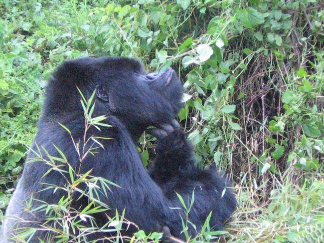 ルワンダ:マウンテンゴリラの群れを観察