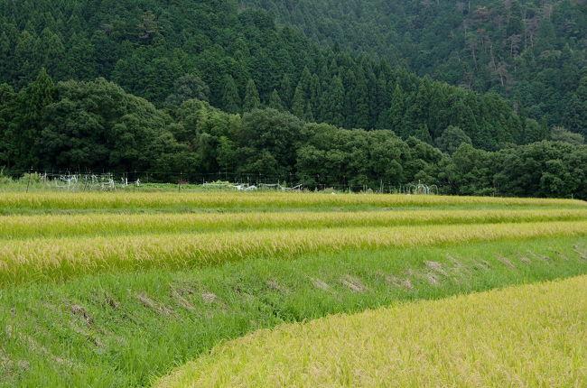 京都市内から1時間ほどで日本の原風景のような棚田があります。<br />春に水を張った棚田を見に出かけたかったのですが、実りの季節を迎えた棚田を訪れました。<br /><br />ところが…<br />棚田へ行くと遠くからパンパンと音がしています。<br />地元の方に伺うと今日はシシ追いをしているから、奥へはいかない方がいいとの事…<br /><br />シシに間違えられてはどうにもなりませんので、この日はざっくりと棚田の風景を楽しみ<br />せっかくなので、鳥居本へ出ましょうという事で久しぶりに愛宕念仏寺で羅漢さんと会って来ました。<br /><br />