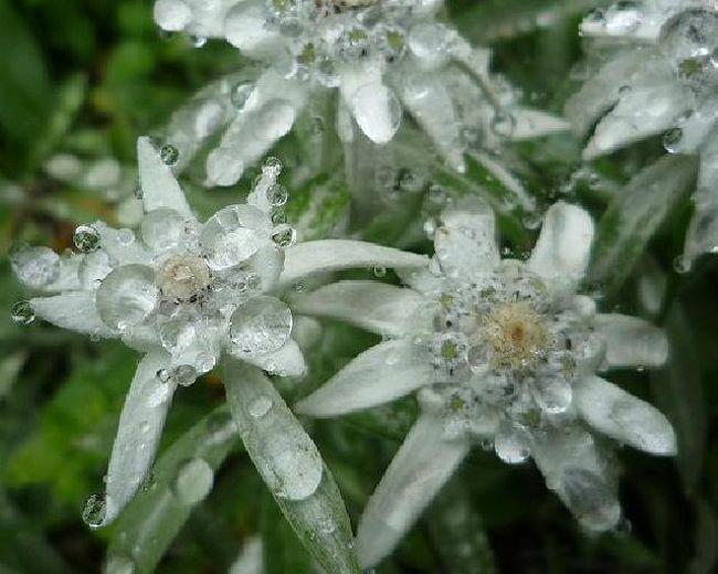 北海道は何度か旅行をしたことがありましたが、「北海道で人気のエリア」今回は初めて離島・礼文島に行ってきました!<br />高山植物が沢山咲いているのと、海鮮、特にウニが美味しく、気温が夏でも高くないという情報を得て、8月なのに長袖を用意して、動きやすい格好で行きました。<br />以前は、礼文島に直行の飛行機があったようですが、飛行場は現在閉鎖されているため、稚内経由でフェリー(ハートランドフェリー)に乗り、2時間揺られて到着しました。<br /><br />どんな島だろう、夏なのに涼しいなんて贅沢だわ、少しわくわく、でもあまりお店もなさそうなので、そんなに期待もしていなかったのですが。。。<br /><br />フェリーターミナル近辺に食堂が集まっているので、宿で食事を取らない人はその辺りの食堂か、少し離れた(歩くとターミナルから20分はかかります)コンビニで買うか、のいずれかの選択肢をとることになると思います。<br />私たちは、いくつかの食堂とコンビニにお世話になりました。(素泊まりプランが基本だったのですが、オプションでせめて夕食付きくらいにしておけば良かったと、後悔しました。宿は、「ネーチャーインはな心」。最終日に夕食をいただいたら、ウニを使ったお料理を沢山出してくれて、食堂ではなかなか食べられない美味しいものでした。)<br />実は、礼文島に来る前に1泊稚内に泊まったのですが、稚内の方が物価が安いです。というより、礼文島内はかなり観光地価格で提供されています。例えば、ウニ丼、地元の美味しいウニを沢山食べたい!なんて思っても、3000円します。これを高いと思うかどうかは個々人の考えに拠りますが、稚内では2000円で食べられたので、やっぱり笑顔で満足!とは言えません。<br />地元の漁協組合が経営しているという「かふか」という食堂は、いつも混んでいて賑わっています。ウニ丼をいただくなら、こちらか、「酒壷」がお薦めです。<br />礼文島で食べるべきものといえば、ウニとイクラ、そしてほっけのチャンチャン焼きのようです。<br />ウニとイクラは旬の時期が少しずれているらしく、夏はウニ、秋にかけてはイクラのようです。もちろん、夏でもイクラは食べられます。冷凍庫から解凍して出してくれますよ(笑)<br />ほっけのチャンチャン焼き(ほっけの上に葱と甘味噌を絡めて焼く)は、好みが分かれると思います。「炉ばたちどり」で頼むと、炉端を前に、自分で好みの焼き具合で焼くことになります。これが、美味しいんだとか。<br /><br />観光は、観光所の向かいのチケット売り場で、半日バスツアーに申し込むと、観光バスで島内を周り、島の名所を案内してくれます。これは、お薦めです!ガイドさんが高山植物の名前や、名所の由来などを色々教えてくれます。<br />海が競っている地形なので基本的には天気は変わりやすいです。生憎、私がいた時は、曇りや雨ばかりで、晴れる時間は殆どありませんでした。こればかりは、運なので、仕方ないですね。雨だと、基本的にすることは何もありません。植物園が島内にありますが、距離が遠いので、レンタカーを借りて行くか、タクシーで行くか、になると思います。路線バスもありますが、高いし、1時間に1本くらいしか走っていないので、どうでしょう。<br />せっかく高山植物が咲いているのだから、ハイキングをしないと来た意味がないと思い、1日だけハイキングに出かけました。礼文薄雪草(エーデルワイス)が咲いている丘に行きました。ちょうど、雨が酷くなってきてしまい、薄雪草だけ見て、山を駆け下りました。もちろん、すぐに下りることはできないので、1時間くらいは下るのにかかったと思います。すると、降り口あたりで、アブが大量にまとわり付いてきて、大変な思いをしました。虫除けするのを忘れてしまったので、していたら、多少マシだったのかもしれません。<br /><br />最終日は、晴れていました。礼文島の東側に利尻島があり、天気が良いと利尻富士を拝めます。東側にあるので、朝日に照らされた利尻富士より、夕日に映える利尻富士の方が美しいです。<br /><br />※礼文島の花は、礼文アツモリソウ。この花は6月に咲くらしく、今回は見ることができませんでした。心残りなのは、この可愛らしい花を見られなかったことです。でも、代わりに薄雪草を見られたので、まあいいかな。