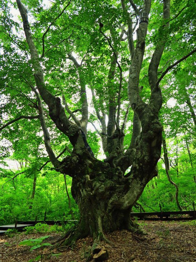 あがりこ大王秋田県由利郡象潟町横岡字中島台国有林68林班と小班幹周 7.62m 樹高 25m  樹齢  300年(推定) 鳥海山北麓の中島台レクリエーションの森内にあるブナの巨樹。鳥海山麓のブナ林は最近とみに注目されるようになってきたが、そのほとんどは「あがりこ」と呼ばれる人手の入ったブナ林である。中には古代ブナと呼ばれる貴重なブナも生育し、点在する湖沼にはマリモも見られる時代の流れから取り残された桃源郷のよう。おそらく東鳥海山崩壊による岩屑なだれによって、ある程度進化していた環境がリセットされた結果であろうか。あがりことは、地上から上がったところから子が出ているという意味を表しており、かつて人により伐採され、その部分から新たな芽が吹き成長していったものであろう。よく奇形ブナといわれるようであるが、それはブナに対して失礼と思うのであるが・・・。駐車場から10分ほど木道を行くと分かれ道が現れる。これを右へ行くと溶岩末端から清冽な水が沸き出す遊水池が現れる。マリモや藻などが見られ、獅子ヶ鼻のメインスポットとなっている。分かれ道を右へ終点まで行くと、そこにはあがりこ大王が控えている。 ( http://www.kyoboku.com/mori/tohoku/agariko.html より引用)日本の巨樹・巨木については・・http://www.kyoboku.com/menu.html鳥海山(ちょうかいさん)は、山形県と秋田県に跨がる標高2,236mの活火山。出羽富士とも、秋田県では秋田富士とも呼ばれる。古くからの名では鳥見山(とりみやま)という。日本百名山・日本百景の一つ。山体は山形県の飽海郡遊佐町・酒田市と秋田県の由利本荘市・にかほ市の4市町に跨がるが、山頂は飽海郡遊佐町に位置し、山形県の最高峰である。東北地方では燧ヶ岳(標高2,356m)に次いで2番目に標高が高く、中腹には秋田県の最高地点(標高1,775m)がある。山頂からは、北方に白神山地や岩手山、南方に佐渡島、東方に太平洋を臨むことができる。全体としては玄武岩ないし安山岩の溶岩からなる富士山型の成層火山であるが、北側から西側にかけては側火山や火口、さらには河川による侵食で、複雑な山容を示している。新旧2つの二重式火山が複合したもので、侵食の進んだ「西鳥海」と新しい溶岩地形をもつ「東鳥海」とからなり、それぞれに中央火口丘と外輪山がある。(フリー百科事典『ウィキペディア(Wikipedia)』より引用)鳥海山については・・http://www.chokaizan.com/http://www3.ocn.ne.jp/~tyokai/http://homepage1.nifty.com/tyokai/tyokaihome01.html