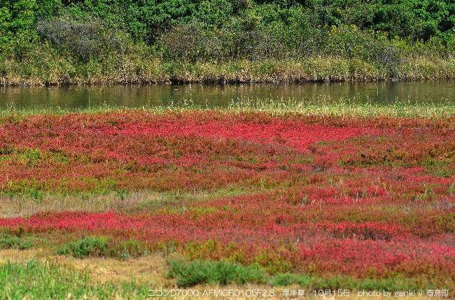 本来は北海道厚岸に自生する草紅葉なんdすが、何故か瀬戸内で繁茂しています。<br /><br />詳細は ⇒ http://genki4.web.fc2.com/