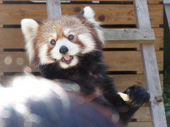 2012年10月 レッサーパンダを見に行こう 1 千葉市動物公園