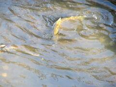 柏の大堀川に鮭が来た・2012年秋。