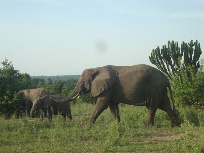 カリンズ森林保護区を経由してようやくクイーンエリザベス国立公園にやって来ました。ウガンダも爆発的な人口増加の傾向があり、日本の本州とほぼ同じ面積に1911年には人口250万人だったのが現在では3000万人以上の人口を抱えているそうです。<br />ホテルまでの道では動物を探しながら移動してゾウやバッファローが姿を見せてくれました。翌日は早朝サファリで丁度エドワード湖から登るご来光やクイーンエリザベス国立公園にたくさん生えている「カンドラブラ」と呼ばれるサボテンの風景がとても素敵でした。<br />ウガンダ共和国の国旗の中央の鳥は、ウガンダの民族のシンボルとして愛されている「カンムリズル」にも運よく出会いました。<br /><br />