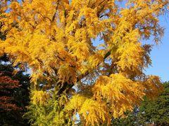 京都を歩く(142) 黄金色の風景 銀杏セレクション2012