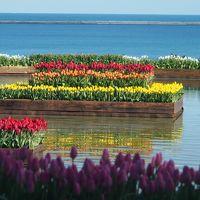 池に浮かぶ真冬のチューリップは、そこだけ春のように色鮮やかだった~!!