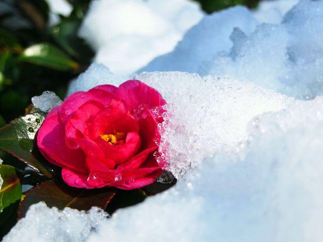 14日の雪の降りしきるその日に<br />夏への扉さんは上野に寒牡丹を見に、コクリコさんは八王子の美術館におでかけになったんですって。<br /><br />みんな元気だなあ◎◎<br /><br />唐辛子婆は翌日に昭和記念公園にいってみましたら<br />雪がみぞれから雨になってしまったので、雪原が穴ぼこだらけ!<br /><br /><br />昭和記念公園の公式サイト<br />http://www.showakinen-koen.jp/<br /><br />昭和記念公園ハーブガーデン・ボランティアのTさんの<br />と〜っても素敵なブログはこちらです。<br />花!花!大好き!!<br />http://blog.goo.ne.jp/07_ff65/c/bc0a62d301f26f02806e8142b93df194 <br /><br /><br /><br /><br />昭和記念公園ファン倶楽部 コミュニティ<br />http://4travel.jp/community/main/10000716/<br /><br />★昭和記念公園だけのサイトマップ(1/2)<br />http://4travel.jp/traveler/tougarashibaba/album/10533629/<br /><br />★昭和記念公園だけのサイトマップ(2/2)<br />http://4travel.jp/traveler/tougarashibaba/album/10696747/<br /><br />